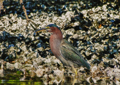 green back bird shoreline